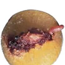 Boutique carpocapse-ver-prune